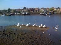 swans at low tide on the Itchen